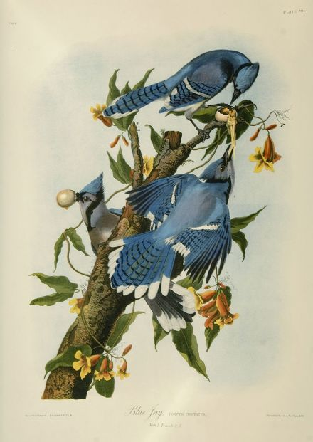 Audubon, John James: Blue Jay. Ornithology/Bird Fine Art Print/Poster. Sizes: A4/A3/A2/A1 (001013)